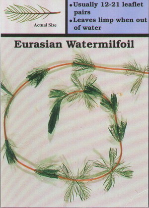 an overview of the eurasian watermilfoil weed in north america Eurasian water-milfoil noxious weed new mexico eurasian watermilfoil class a noxious weed north carolina eurasian watermilfoil class b noxious weed oregon.