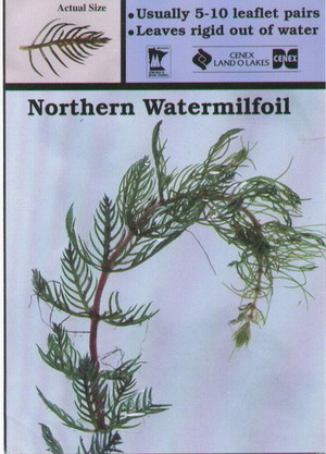Northern Watermilfoil